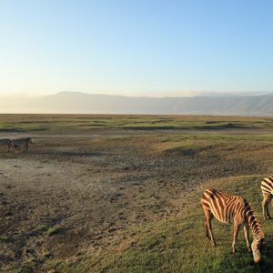 image shows zebra on an open field